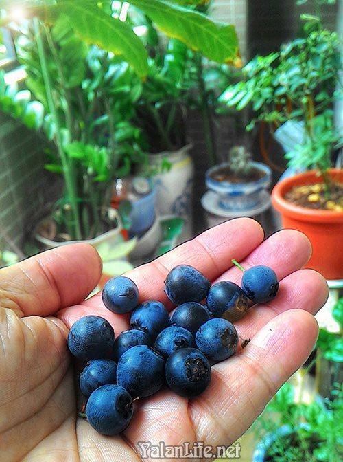 Taipei life Blueberry Romanticism Yalan雅岚 黑摄会